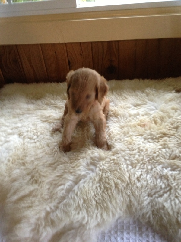 CUDDLY FUN LOVING & OH SO SMART ROYAL HAWAIIAN RED STANDARD POODLE