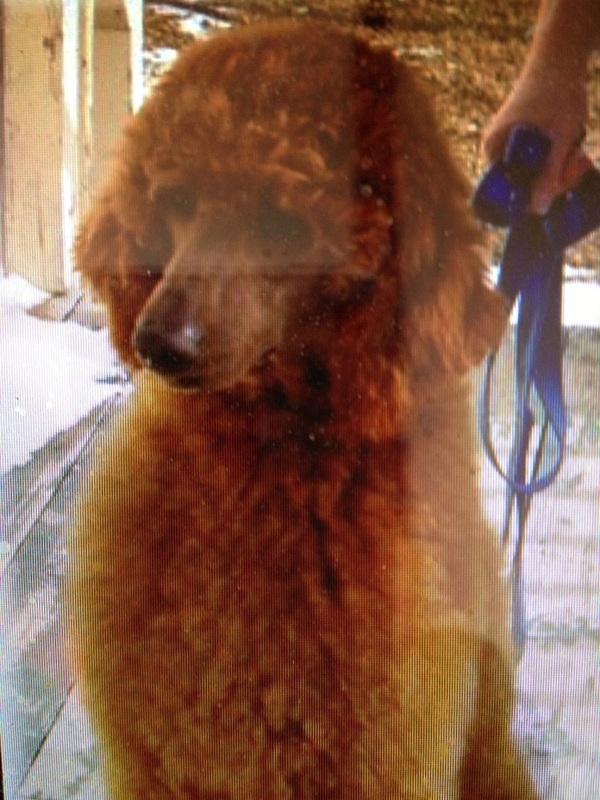 Royal Hawaiian Rich, Red & Rare Standard Poodles - Lineage